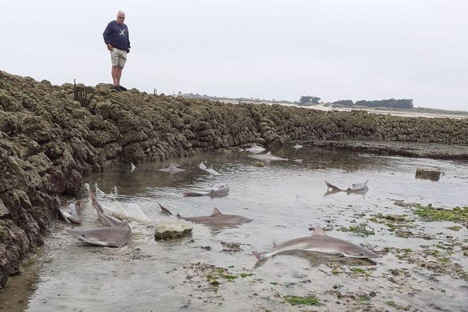 """Insolite : pêche """"miraculeuse"""" de requins dans une écluse à poissons de l'île de Ré"""