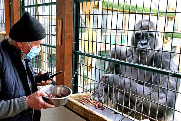 L'espace zoologique de Saint-Martin-la-Plaine est fermé au public pour cause de crise Covid. Ici, Pierre Thivillon et le gorille Likalé en février 2021.