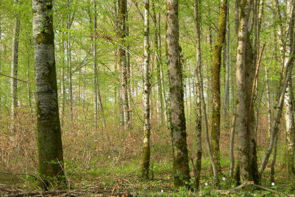 La forêt de l'Abbaye de la Crête, en Haute-Marne. Le département compte 250 000 hectares de forêt, soit 40% de son territoire.