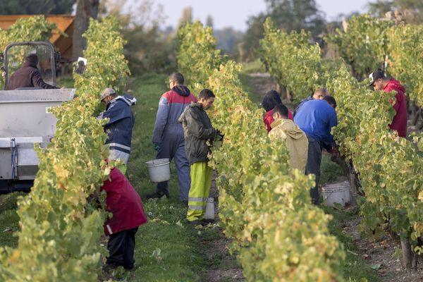 Des travailleurs saisonniers pendant les vendanges