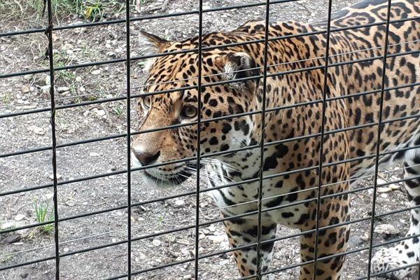 Les jaguars et les tigres blancs font partie des animaux fétiches du zoo de Pessac.