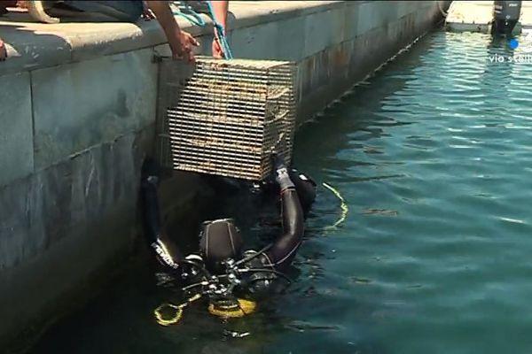Une cage contenant 100 huîtres a été placée dans le vieux port de Bastia mercredi 12 juin.