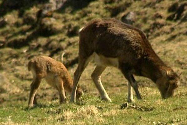 Le mouflon a été introduit dans le massif du Sancy dans les années 50 et 60. Aujourd'hui, ils sont plus de 450 à y résider.