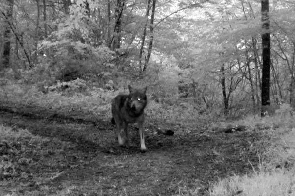 Aude - Pays de la Piège - un loup repéré dans la forêt - 2016.