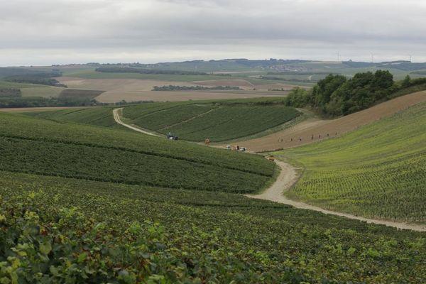 Les vendanges devraient commencer plus tôt dans les 5 500 hectares de vignes du Chablisien