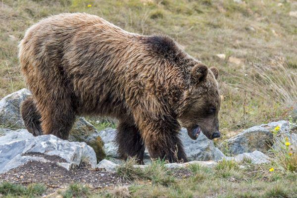 Selon la préfecture, les éléments recueillis sur place permettent d'imputer le dérochement de 260 brebis à Aston (Ariège) à l'ours