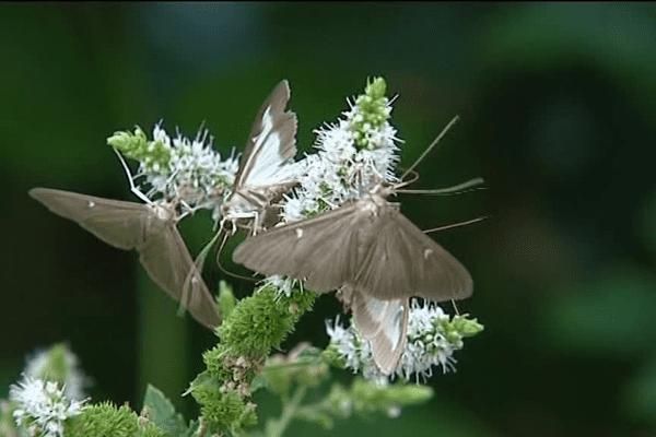 Un papillon peut pondre un millier d'oeufs par jour. Il est urgent d'agir.