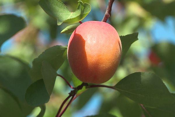 Malgré les intempéries, la récolte des abricots peut commencer - Salses (Pyrénées-Orientales) - 27 mai 2021.