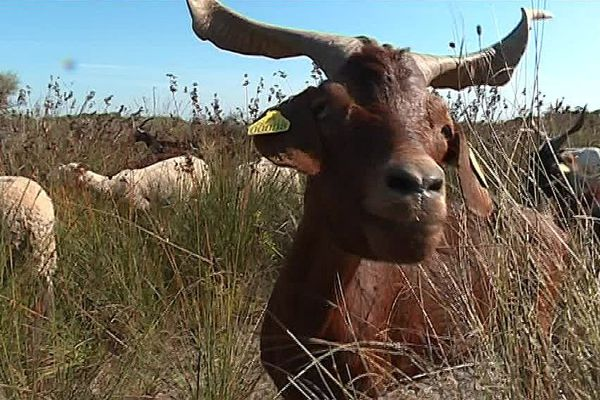 Les chèvres et brebis qui paissent à l'Espiguette appartiennent toutes à des races protégées.