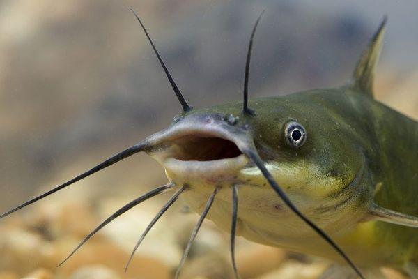 Près de 2000 poissons retrouvés morts dans un étang de Civrieux D'Azergues ... essentiellement des poissons de fond comme le poisson-chat