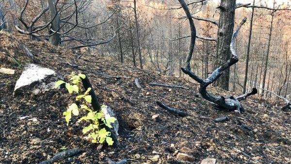 Trois mois après l'incendie la nature tente de reprendre ses droits sur les hauteurs de Monze.
