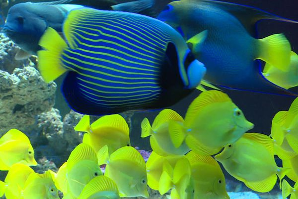 Ces poissons sont à découvrir au musée océanographique de Monaco, quand il sera rouvert.