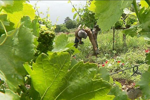 Vigne située dans l'AOC Coteau Varois
