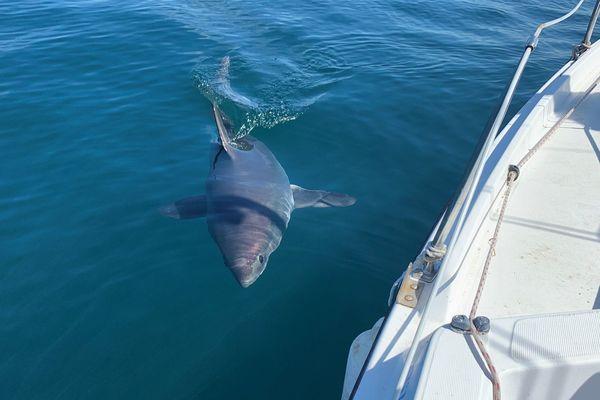 Habitué du large et des profondeurs, un requin-taupe rend visite aux plaisanciers