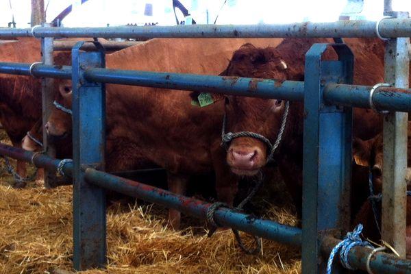 Plus de 350 bovins sont présentés pour la 7ème édition de la Fête de la Viande de Rethel.
