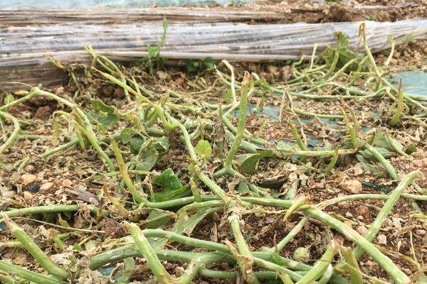 Des plants de melons hachés par les grêlons