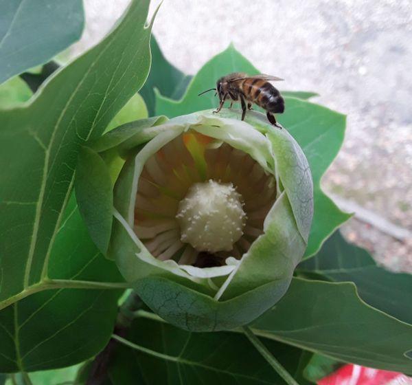 Une abeille au printemps sur une fleur de tulipier de Virginie