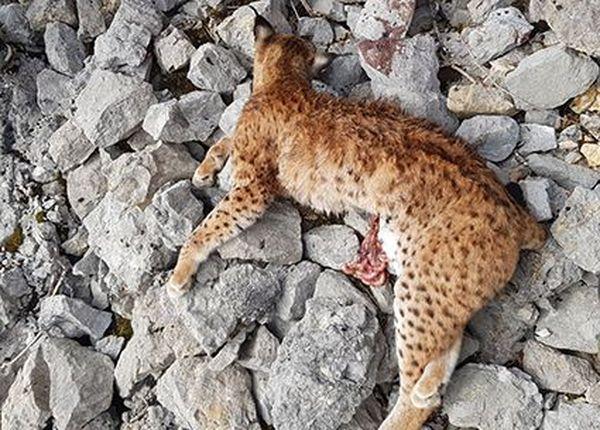 Corps d'un lynx éventré retrouvé le 17 mars 2020 à Ivrey (39) dans les éboulis après avoir été abattu par une arme à feu en plein confinement.