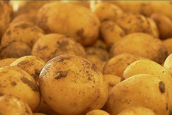 Pommes de terre de la variété Colomba