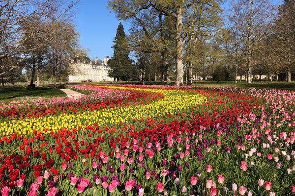 350 000 bulbes de tulipes ont été plantés à l'automne dans le parc du château de Cheverny dans le Loir-et-Cher.