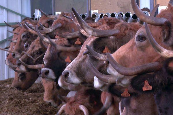 Des vaches aubrac - 2021.