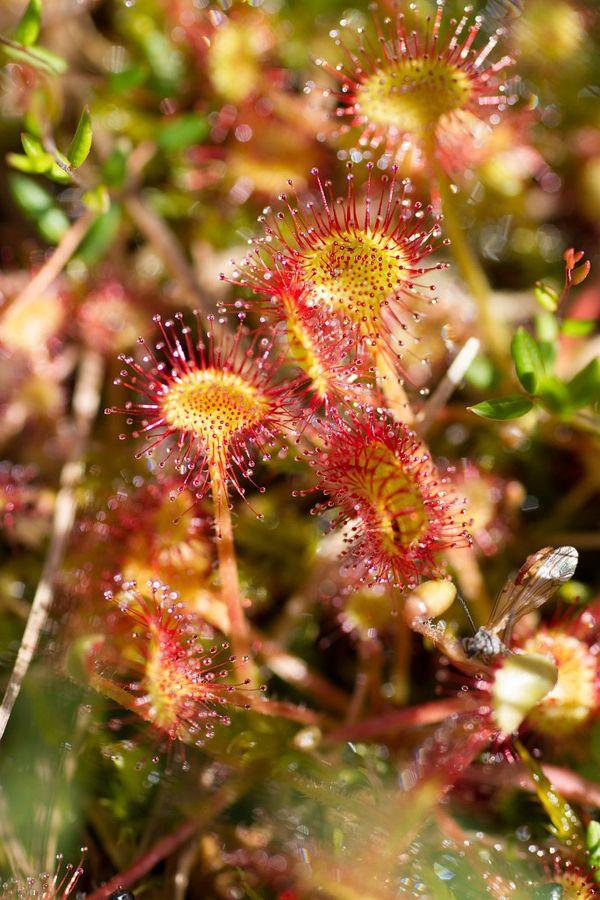 L'aspect humide de la drosera à feuilles rondes attire les insectes qui viennent ensuite se coller sur les feuilles