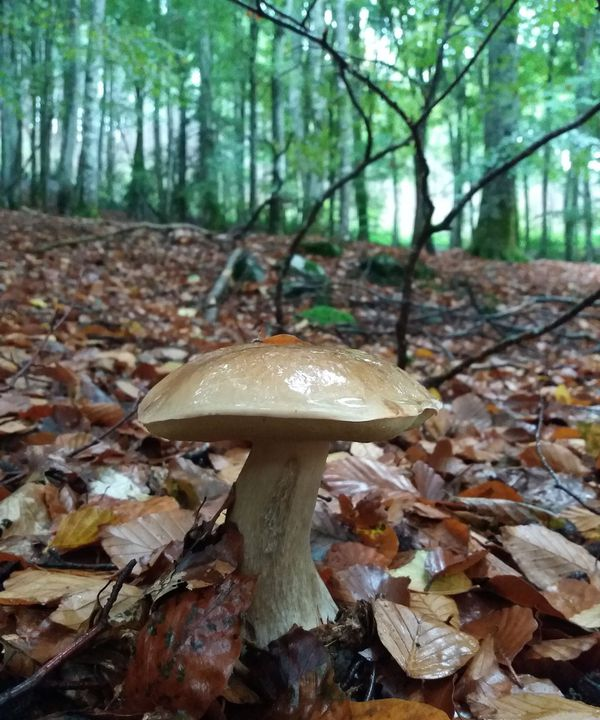 Le cèpe est très apprécié des amateurs de champignons.