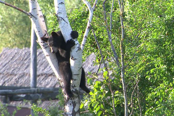 Dakota ou Carolina, l'une des oursonnes du parc animalier.