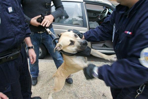 C'est un chien de type american staff qui a sérieusement blessé la victime