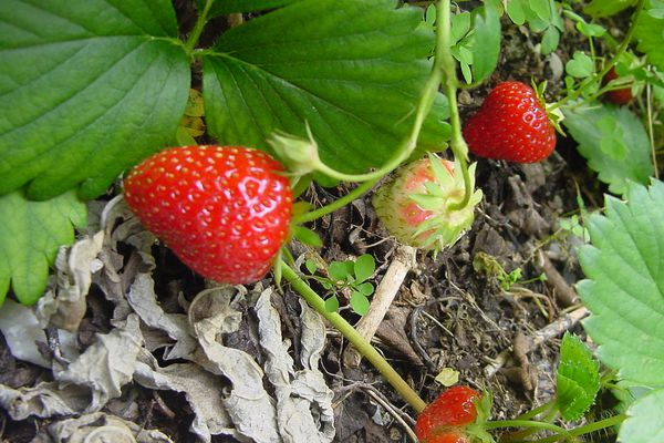 De nombreux agriculteurs peinent à trouver des salariés français, notamment dans le secteur des fruits et primeurs.