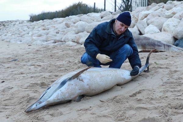 Les correspondants du réseau échouage recensent les cas signalés de dauphins retrouvés sur les plages