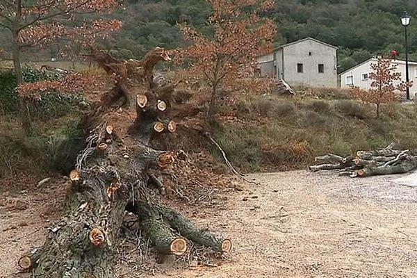 Saint-Jean-de-Buèges (Hérault) - des arbres au sol après la tempête - 4 janvier 2018.