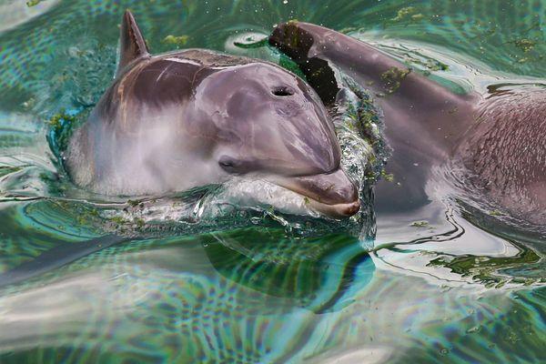 Mai 2020 : un bébé dauphin est né dans le Marineland d'Antibes (Alpes-Maritimes), en 2027 il ne devrait plus être en captivité.