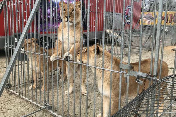 L'enclos des lions blancs du cirque Pinder, ici à Cognac (Charente)