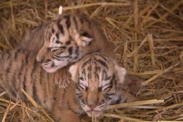 Deux des quatre bébés tigres du cirque Arlette Gruss