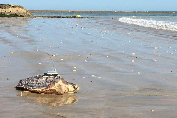Balise GPS sur le dos, l'une des huit tortues marines remises à l'eau ce mardi matin sur l'île de Ré (Charente-Maritime).