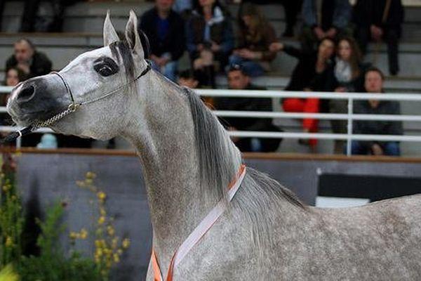 Le cheval arabe : un port altier