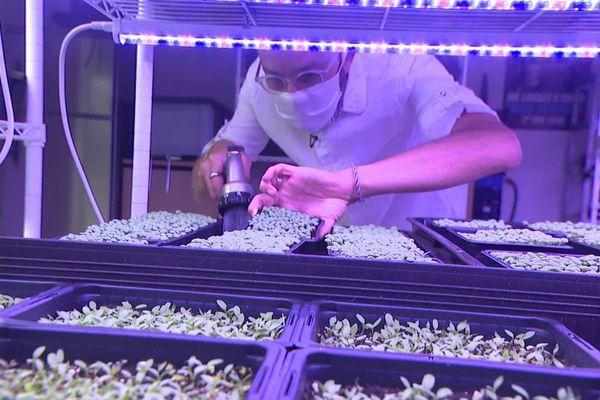 Depuis un an, chaque jour, julien Caja répète les mêmes gestes dans son laboratoire installé en plein centre de Lyon, pour cultiver ses micropousses.