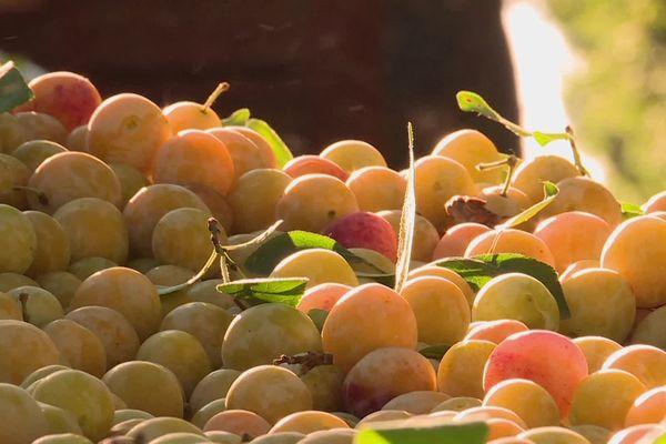 Chez les Barth, producteurs de fruits à Benwihr, la récolte 2021 s'annonce abondante et de qualité, après un été 2020 exceptionnel.