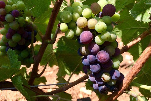 Les grappes de pinot commençaient à changer de couleur dans le vignoble bourguignon, fin juillet.