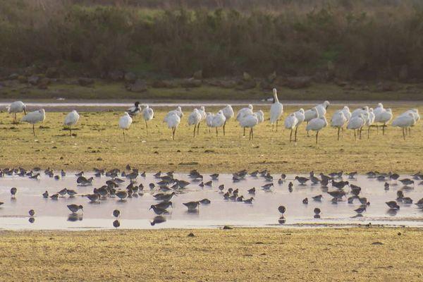 Les oiseaux migrateurs vont passer l'hiver sur l'île de Ré.
