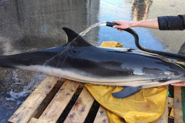Le dauphin a été pris en charge par des ostréiculteurs de la Maison Gillardeau.