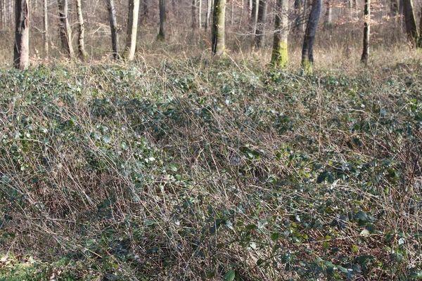 Une prolifération des ronces, preuve de la mauvaise gestion actuelle de la forêt.