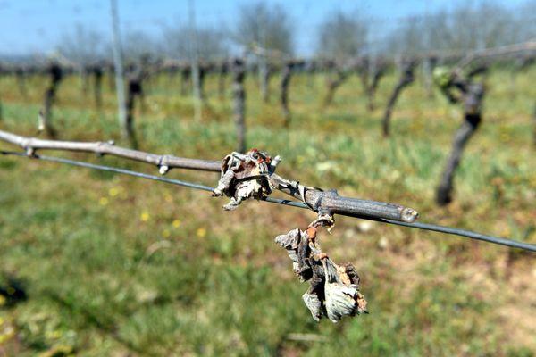 Vigne touchée par le gel dans le Lot, voisin de la Corrèze.