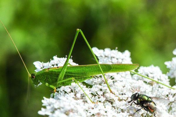 Sous l'objectif de notre confrère Stéphane l'Hôte, la sauterelle et la mouche