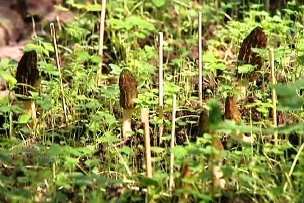 Dans un lieu tenu secret en Haute-Savoie, les morilles poussent par dizaines dans quelques mètres carrés.