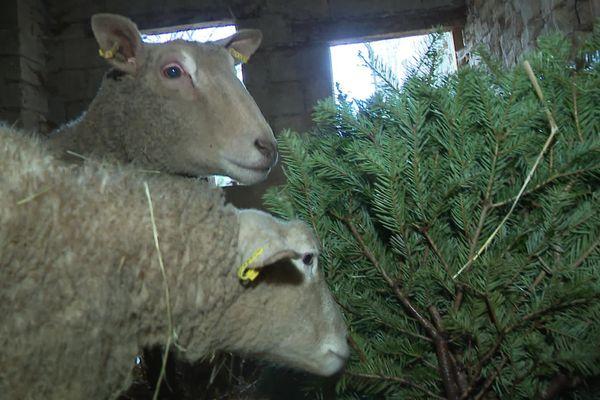 Les moutons de la mini ferme pédagogique de Leffonds (70) se régalent des sapins de Noël récupérés grâce à l'appel aux dons lancé sur les réseaux sociaux.