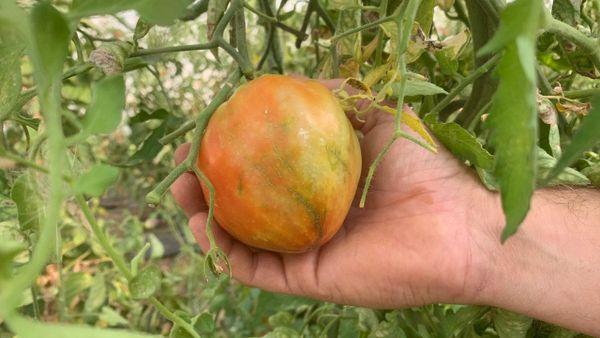 Les tomates dans les serres