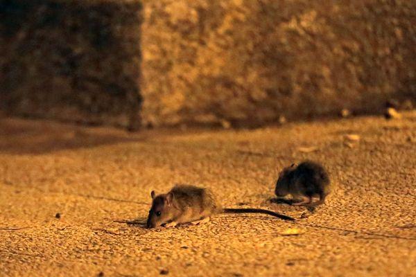 Dans de nombreuses villes, les rats vivent parmi les hommes....car les déchets sont accessibles