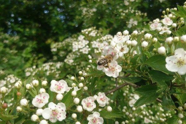 Au printemps, les abeilles butinent les fleurs d'aubépine